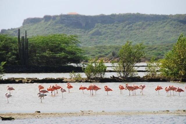 Daaibooi flamingo's - Bezienswaardigheden Curaçao