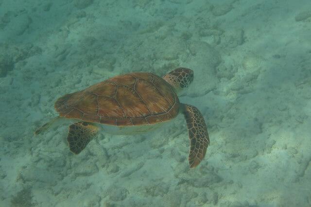 Snorkelen Curaçao - Groene schildpad