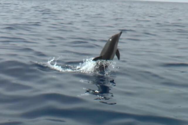 Dolfijnen spotten Algarve