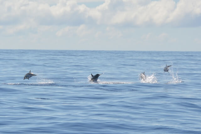 Dolfijnen spotten - Madeira attracties