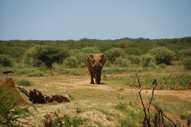Olifant onderweg naar waterhole, Erindi Private Game Reserve, Namibië
