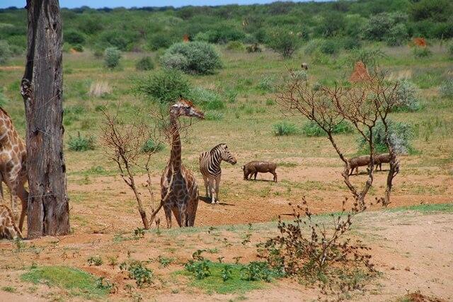 Verschillende dieren tegelijkertijd bij een waterhole, Erindi Private Game Reserve, Namibië