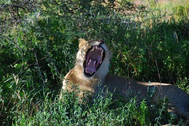 Dichtbij leeuwen, Erindi Private Game Reserve, Namibië