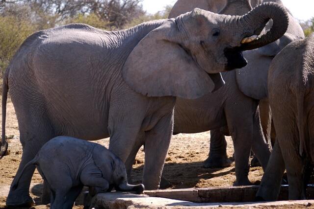 Kudde olifanten, Etosha National Park
