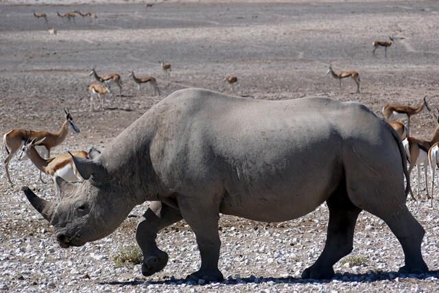 Neushoorn in Etosha National Park, Namibië