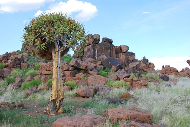 Kokerboom, Keetmanshoop, Namibie