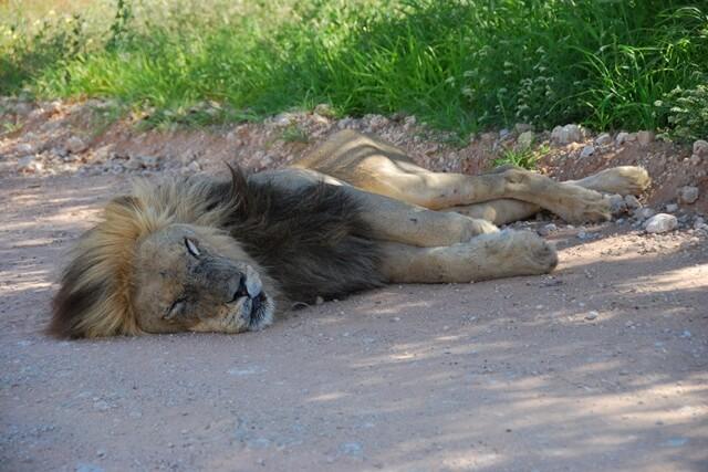 Leeuw op de weg, Kgalagadi Transfrontier Park, Zuid-Afrika