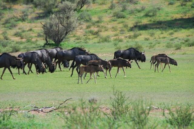 Kudde gnoes, Kgalagadi Transfrontier Park, Zuid-Afrika