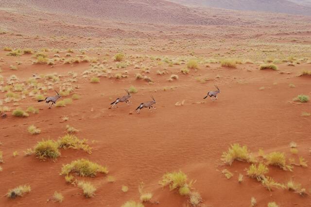 Kudde oryxen vanuit de lucht, Sossusvlei, Namibie
