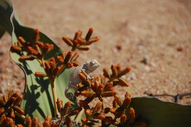 Kameleon op welwitschia, Welwitschia tour
